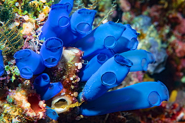 Blue-ring sea squirt (Clavelina coerulea) clustered around another Sea squirt. Derawan Island, East Kalimantan, Indonesia.