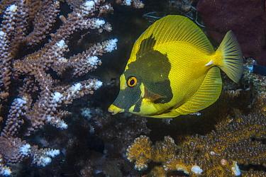 Brown scopas tang (Zebrasoma scopas) with unusual colouration, in coral reef. Derawan Islands, East Kalimantan, Indonesia.