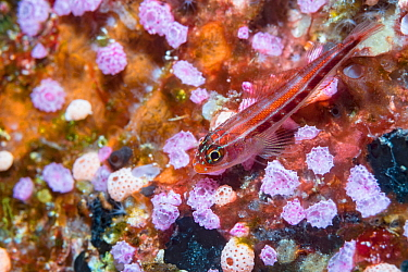 Tropical striped triplefin (Helcogramma striatum) on Pink sea squirts (Didemnidae). Derawan Islands, East Kalimantan, Indonesia.