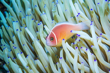 Pink anemonefish (Amphiprion perideraion). Derawan Islands, East Kalimantan, Indonesia.