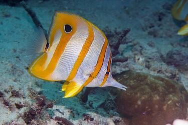 Banded longsnout butterflyfish (Chelmon rostratus). Derawan Islands, East Kalimantan, Indonesia.