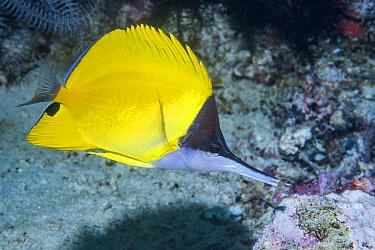 Long-nosed butterflyfish (Forcipiger flavissimus). Derawan Islands, East Kalimantan, Indonesia.