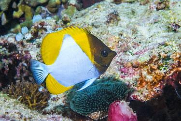 Pyramid butterflyfish (Hemitaurichthys polylepis) in coral reef Derawan Islands, East Kalimantan, Indonesia.