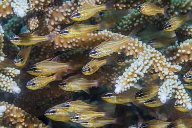 Cardinalfish (Apogon sp) shoal sheltering in Coral branches. Derawan Islands, East Kalimantan, Indonesia.