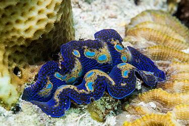 Giant clam (Tridacna sp) mantle. Derawan Island, East Kalimantan, Indonesia.