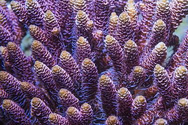 Stony coral (Acropora millepora)  Derawan Islands, East Kalimantan, Indonesia.  Indo-West Pacific.