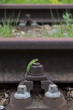 Sand lizard (Lacerta agilis) male on unused railway line, the Netherlands.