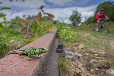 Sand lizard (Lacerta agilis) male; wide angle view in old unused railway line; lizard habitat, the Netherlands.
