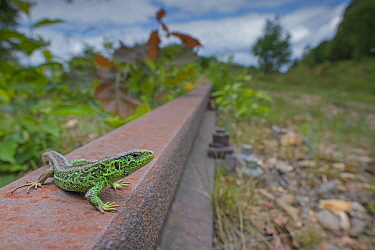 RF - Sand lizard (Lacerta agilis) male; wide angle shot on unused railway line, the Netherlands. (This image may be licensed either as rights managed or royalty free.)