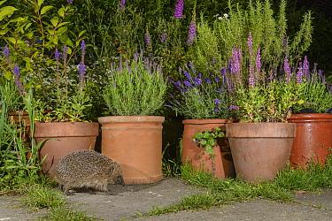 European hedgehog (Erinaceus europaeus), in urban garden, Manchester, UK