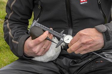 Scientist measuring a Common guillemot (Uria aalge). Staff from Natturustofa Noroausturlands (Northeast Iceland Nature Research Centre) catch seabirds at Skoruvikurbjarg bird cliffs on Langanes Penins...