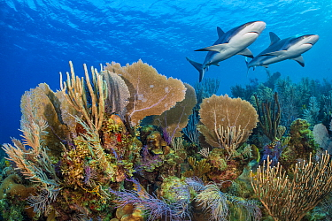 A vibrant Caribbean coral reef with two Reef sharks (Carcharhinus perezi) and Common sea fans (Gorgonia ventalina) and sea plumes (Pseudopterogorgia sp). Jardines de la Reina, Gardens of the Queen Nat...
