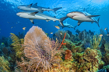 A shiver of Caribbean reef sharks (Carcharhinus perezi) swim over a coral reef with Common sea fans (Gorgonia ventalina) and sea plumes (Pseudopterogorgia sp). Jardines de la Reina, Gardens of the Que...