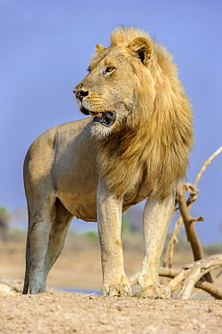 Adult male lion (Panthera leo) standing on the banks of the Luangwa River, South Lunangwa NP. Zambia.