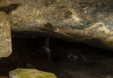 Durga Das's leaf-nosed bat (Hipposideros durgadasi) flying in a cave, Kolar, India. December. Endemic species, vulnerable.