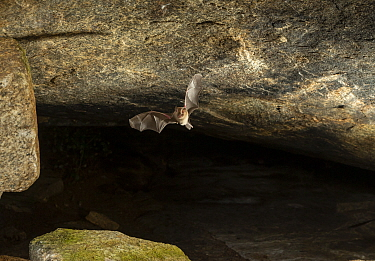 Durga Das's leaf-nosed bat (Hipposideros durgadasi) flying in a cave, Kolar, India. December. Endemic species, vulnerable.
