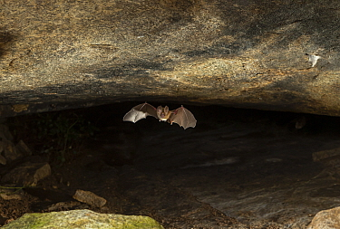 A Kolar leaf-nosed bat (Hipposideros hypophyllus) flying, endemic to one cave in Hanumanahalli village, Karnataka, India. December.