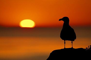 Great black-backed gull (Larus marinus) silhouette against sunset, Saltee Islands, Co. Wexford, Ireland, June