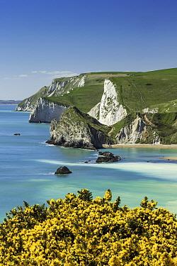 Gorse (Ulex europaeus) landscape, St Oswald's Bay, Dorset, England, UK, May 2013.