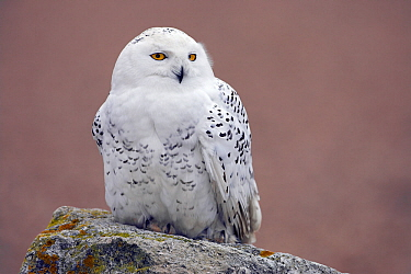 Snowy Owl (Bubo scandiacus) female, perched on rock. Captive.