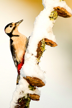 Great spotted woodpecker (Dendrocopos major) adult male on snow covered branch in winter, Dumfries and Galloway, Scotland, January