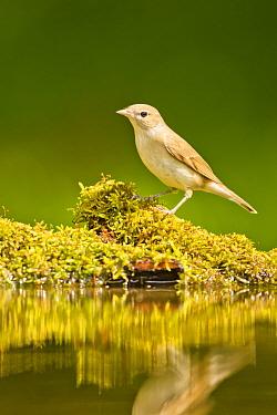 Garden warbler (Sylvia borin borin) perched near water, Hungary. May.