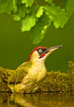 Green woodpecker (Picus viridis viridis) male bathing in oak woodland, Hungary. May.