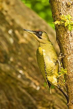 Green woodpecker (Picus viridis virids) female on side of tree, looking around. Hungary, May.