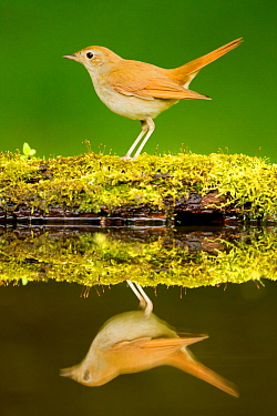 Nightingale (Luscinia megarhynchos megarhynchos) at drinking pool, Hungary. May.