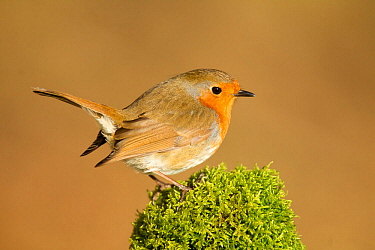 Robin (Erithacus rubecula melophilus) perched on a old moss covered log, Lancashire, England, UK. March.