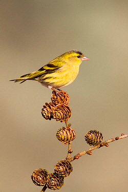 Siskin (Carduelis spinus) adult male perched on larch cone, Lancashire, March