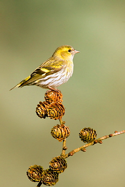 Siskin (Carduelis spinus) adult female perched on larch cone, Lancashire, Engalnd, UK. March.