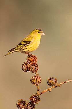 Siskin (Carduelis spinus) adult male perched on larch cone, Lancashire, England, UK, March.