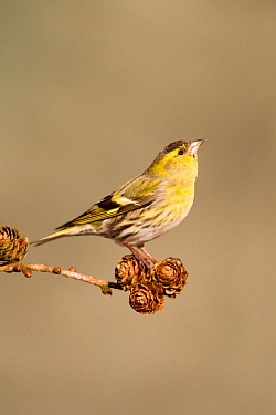 Siskin (Carduelis spinus) adult male perched on larch cone,looking upwards. Lancashire, England, UK. March.