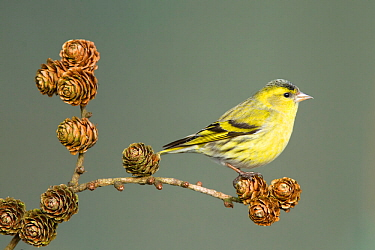 Siskin (Carduelis spinus) adult male perched on larch cone, Lancashire, England, UK. March.