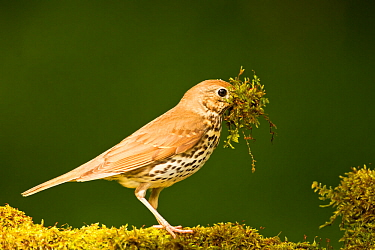 Song thrush (Turdus philomelos clarkei) gathering wet moss at edge of garden pond for nesting material. Hungary, May.