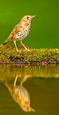 Song thrush (Turdus philomelos clarkei) reflected at edge of garden pond, Hungary, May.