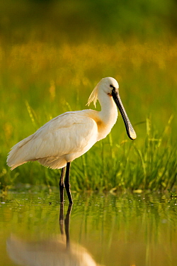 Spoonbill (Platalea leucorodia leucorodia) adult in summer plumage, Hungary, May.