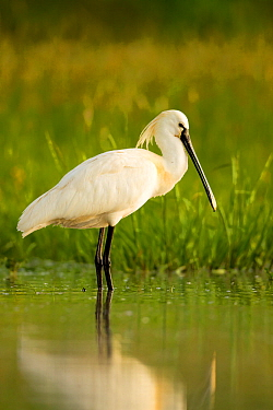Spoonbill (Platalea leucorodia leucorodia) adult in summer plumage, Hungary, May
