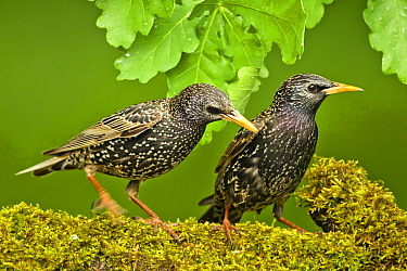 Starlings (Sturnus vulgaris vulgaris) on branch, Hungary, May