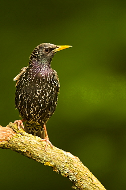 Starling (Sturnus vulgaris vulgaris) adult male perched on branch in woodland, Hungary, May