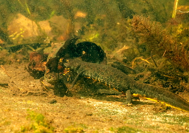 Great crested newt (Triturus cristatus) pair approaching each other prior to mating. In garden pond, Netherlands. April.