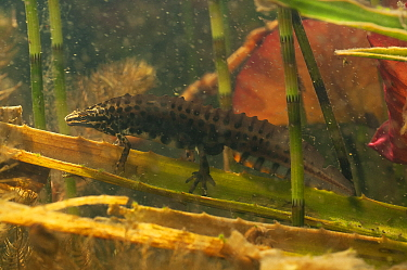 Common newt (Lissotriton vulgaris) male amongst water plants in garden pond. Netherlands. April.