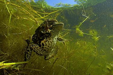 Mating edible frogs (Pelophylax esculentus) in garden pond. Netherlands. May.