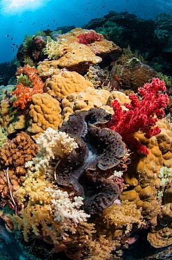 Giant clam (Tridacna gigas) in the coral reef with hard corals and soft corals, Cosmoledo Island, Seychelles, Indian Ocean