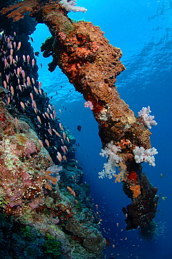 Overgrown old anchor chain with soft corals,hard corals and sponges at the drop-off of Astove reef, Astove Island, Seychelles, Indian Ocean