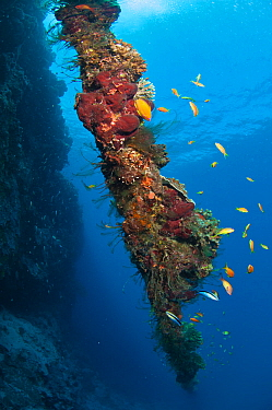 Overgrown old anchor chain with hard corals, hydroid polyps and sponges at the drop-off of Astove reef, Astove Island, Seychelles, Indian Ocean