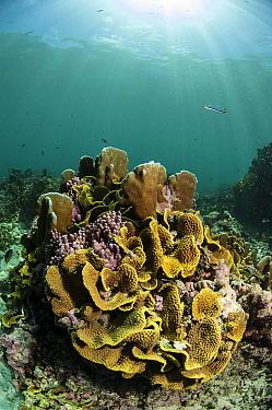 Hard coral in coral reef habitat, Alphonse island, Seychelles, Indian Ocean