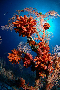 Solitary coral on Sea fan in coral reef around Alphonse Island, Seychelles, Indian Ocean