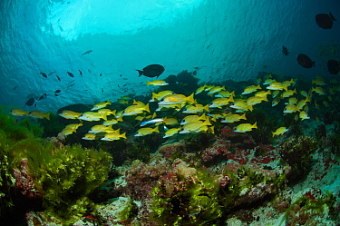 Bluestripe snappers (Lutjanus kasmira) shoaling over coral reef, Passe Dubois / Dubois channel, Aldabra, Indian Ocean